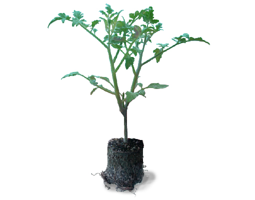 510x400_tomato_grafted_ellepot plant.jpg